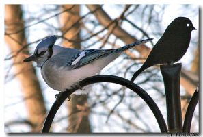 MY 1st BLUE JAY by CTP