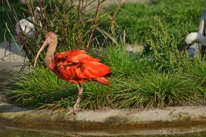 Ibis by WorldsInWorld