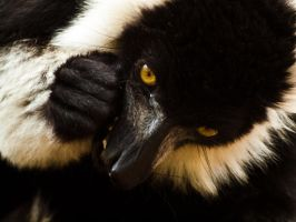 Black + White Lemur 00 - Jun 13 by mszafran