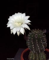 Cactus Flower by KmyGraphic