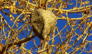 Paper Wasp Nest by PamplemousseCeil