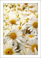 Daisies 2 by MichelleMarie