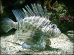 Lionfish by DarkestSideOfTheSun