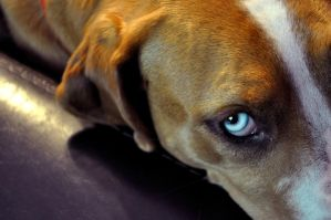 Icy Blue Eye of a Catahoula by bugonawall