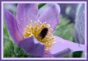 Close-up - Pulsatilla Vulgaris by printsILike