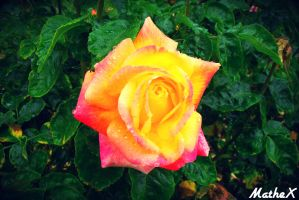If The Sun Would Be Put In A Rose by TLL-MatheX