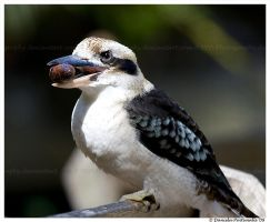 Kookaburra: Snag Time by TVD-Photography