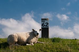 Sheep 43531 by TomNL