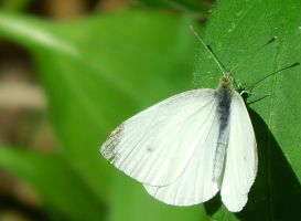 White Butterfly by HappyChaoticMelody