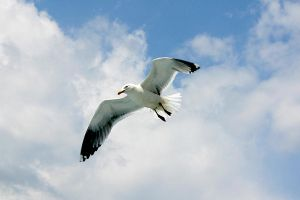 Seagull 02 by mordoc-stock