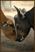 Banteng Love by rgphoto777