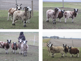 Sheep stock pack by Lythre-does-photos