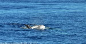 The dolphin-sized whale - Risso's dolphin by namu-the-orca