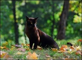 cat in autumn by cougarLV