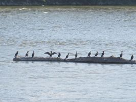Double-Crested Cormorants on the Rock River 6 by Windthin