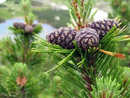 mountain pine by burys