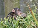 Chimpanzee Eating Grass by jessieo-photography