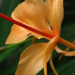 Ginger Lily Close Up by Coatlique