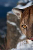Puma concolor 14 by catman-suha