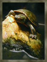 Turtle - 1 by cyeos