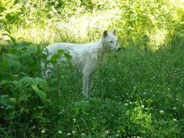 Wolf In Canada by Inky-Wolf-Tracks