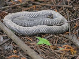 Black Racer by dproberts