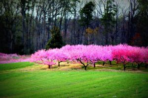 Processed Peach Trees by katseyecreations