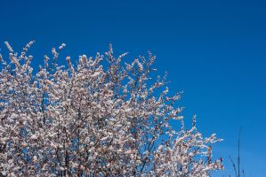 Cherry Blossoms 4 by KariLouMc