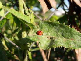 Lady Bug by Fully-Stocked