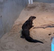 otter by MLeighS