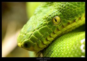 Corallus Caninus by bergroth