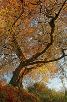 Belvoir Tree from Below III by Gerard1972
