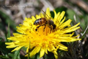Busy Bee Too by Annushkka