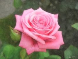 Pink Roses in Anzures 4 Painte by ChristopherinMexico