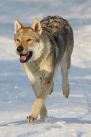 CS Wolfdog Stock 3 by Czertice