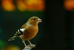 Chaffinch 2 by Tinap