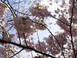Cherry Blossoms by Dancing-thru-Life