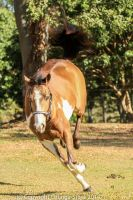 VR Pinto bucking front view by Chunga-Stock