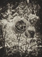 Rose on Film by LAPoetry-n-Photo