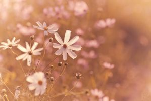 Cosmos in the golden light by berryrika