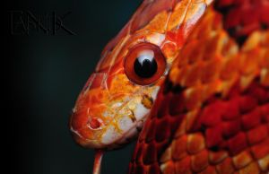 Cornsnake by Enkased