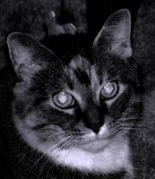 black and white cat by abramsje