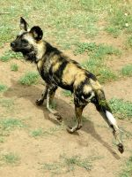 African Wild Dog by MorganMortician