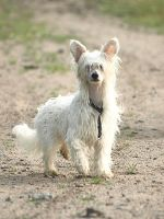 Chinese crested dog male by wakedeadman