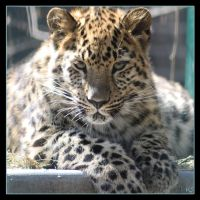 Leopard 3 by Globaludodesign