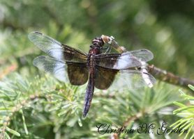 Widow Skimmer by bydandphotography