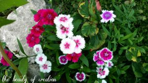 multi-colored dianthus by virnagray
