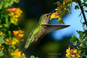 Little Hummer 7 by Mac-Wiz