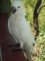 STOCK - Cockatoo 015 by Chaotic-Oasis-Stock