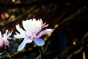 Magnolia 3 by rpolingphotography